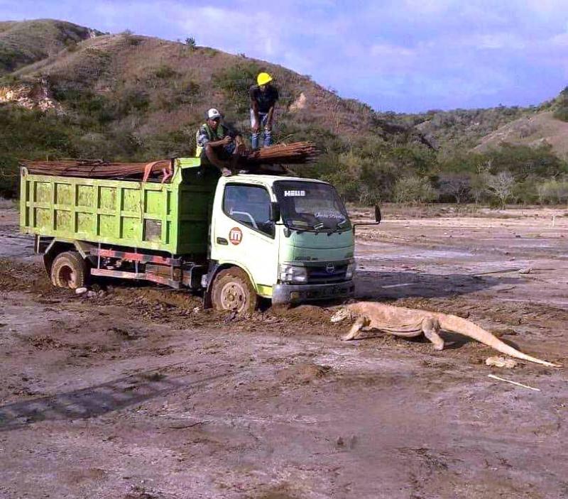 Penampakan Komodo `Hadang` Truk Proyek Jurassic Park di Pulau Rinca